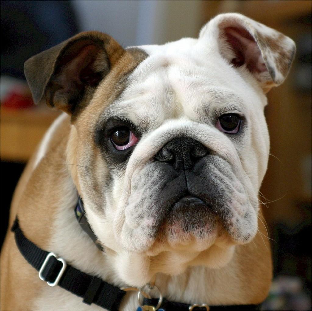english-bulldog-538485_1280