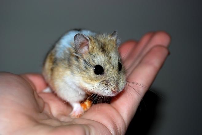 hamster-1248374