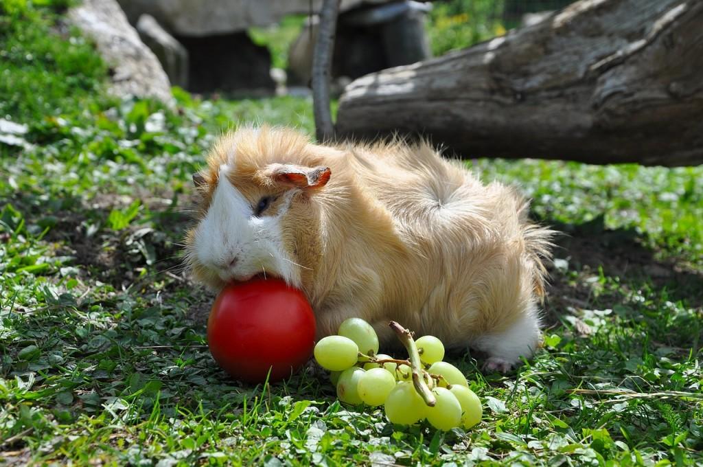 guinea-pig-498067_1280