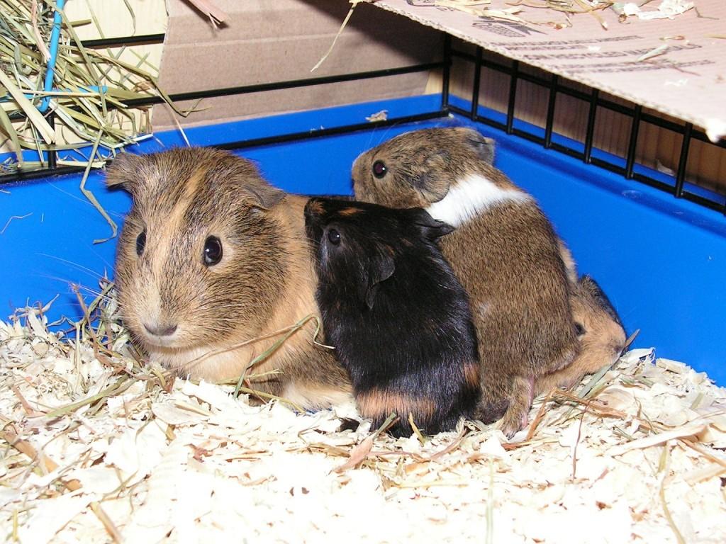guinea-pig-591261_1280