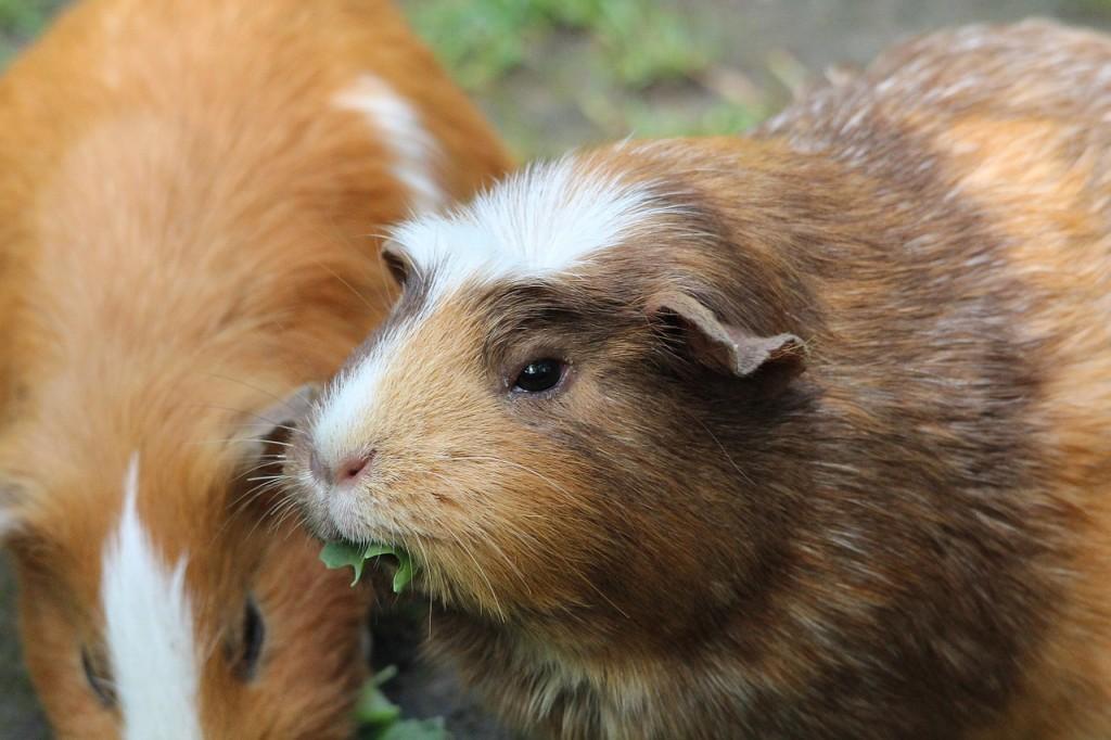 guinea-pig-811086_1280