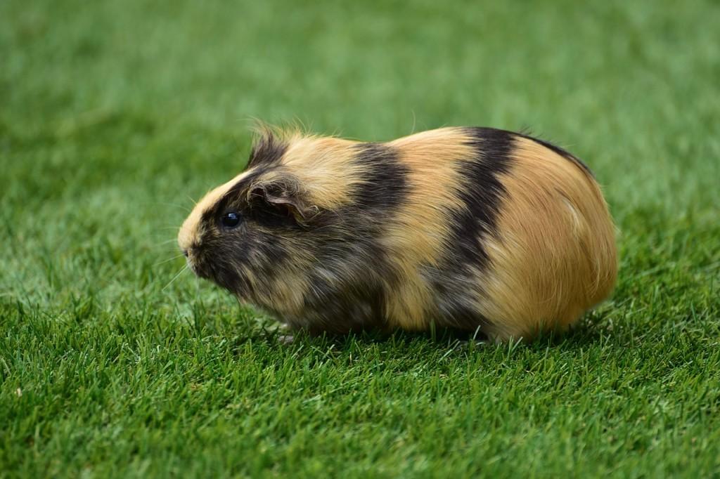 guinea-pig-house-721839_1280